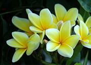 Sabrina L Ryan - Mellow Yellow Plumeria