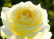 Beach Roses Posters - Mellow Yellow Rose Poster by Sabrina L Ryan