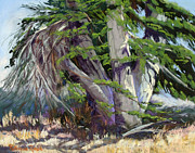 Area Pastels Prints - Mendocino Cypress II Print by Patricia Rose Ford