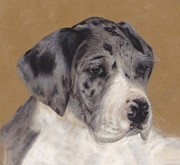 Puppies Pastels Posters - Merle Great Dane Puppy Poster by Loreen Pantaleone