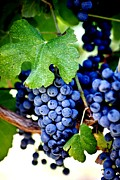 Sauvignon Posters - Merlot Grapes Harvest Time Poster by Ron Bartels