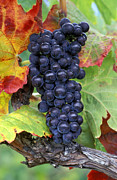Merlot Grapes Print by Kevin Miller