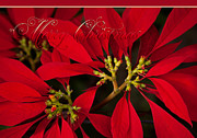 Christmas Greeting Cards Photo Framed Prints - Merry Christmas - Poinsettia  - Euphorbia pulcherrima Framed Print by Sharon Mau