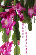 Christmas Cactus Art - Merry Christmas by Sylvia Thornton