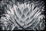 Kelley King Prints - Mescal Agave Print by Kelley King