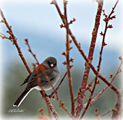 Sienna Posters - Mesmerized Junco Poster by Barbara Chichester