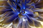 Metallic Blue Dahlia Print by Dora Sofia Caputo