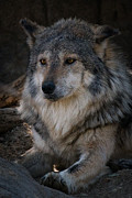 Animals Reliefs Posters - Mexican Gray Wolf Poster by Albert Lipsey