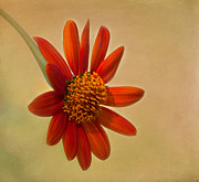 Garden Flowers Photos - Mexican Orange Sunflower by Kim Hojnacki