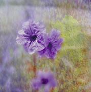 Judy Hall-Folde - Mexican Petunia
