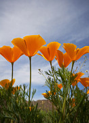Mexican Poppies  Print by Saija  Lehtonen