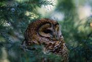 Nocturnal Animal Prints - Mexican Spotted Owl In Tree Print by Natural Selection David Ponton