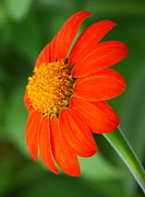 Myrna Bradshaw - Mexican Sunflower