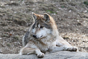 Judy Whitton - Mexican Wolf #7