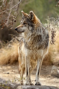 Robert Jensen Art - Mexican wolf by Robert Jensen