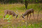 Sparring Prints - Michigan Bucks 0101 4510 Print by Michael Peychich