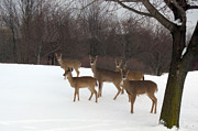 Deer In Snow Prints - Michigan Deer Herd Winter Snow Landscape  Print by Kathy Fornal