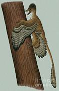 Microraptor Gui, A Small Theropod Print by Heraldo Mussolini