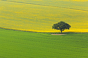 Rapeseed Photos - Middle Ground by Richard Thomas