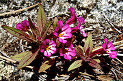 Escapees Framed Prints - Midget Phlox in Park Sierra-CA Framed Print by Ruth Hager