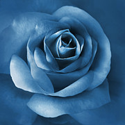 Blue Flowers Posters - Midnight Blue Rose Flower Poster by Jennie Marie Schell