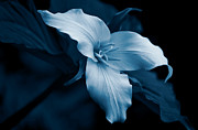 Blue Flowers Photos - Midnight Blue Trillium Wild Flower by Jennie Marie Schell