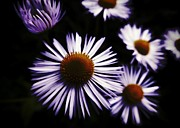Midnight Daisy Print by Mariola Bitner
