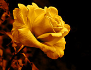 Golden Flowers Metal Prints - Midnight Golden Rose Flower Metal Print by Jennie Marie Schell