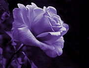 Purple Roses Photo Prints - Midnight Rose Flower in Lavender Print by Jennie Marie Schell