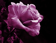 Purple Roses Photo Prints - Midnight Rose Flower in Violet Print by Jennie Marie Schell