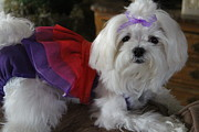 Maltese Photos - Miesha by Sheri Dean