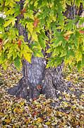 James BO  Insogna - Mighty Maple Tree