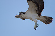 Bird Of Prey Greeting Card Posters - Mighty Osprey Poster by Denis Rivard