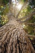 Mythja  Photography - Mighty pine tree