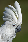 Pet Cockatoo Photos - Mighty Umbrella... by Nina Stavlund