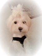 Toy Maltese Prints - Mikey Print by Susan Wilson