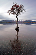 Reflection In Water Prints - Milarrochy Bay Tree Print by Grant Glendinning