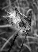 Blow Prints - Milkweed Pod monochrome Print by Steve Harrington