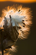 Bursting Posters - Milkweed Seed Pod Poster by Adam Romanowicz