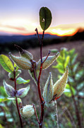 Virginia Photos - Milkweed Sunrise I - Blue Ridge Parkway by Dan Carmichael