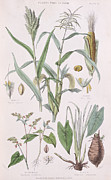 Food And Beverage Drawings Prints - Millet Maize Buckwheat and Taro Print by W Fitch