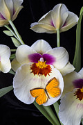 Pretty Orchid Posters - Miltonia orchid with orange butterfly Poster by Garry Gay