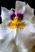 Moist Prints - Miltonia white orchid with dew Print by Garry Gay