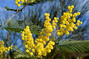 Mimosa Flowers Photos - Mimosa by John Tidball