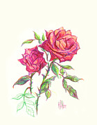 Roses Drawings Framed Prints - Minature Red Rose Framed Print by Kip DeVore
