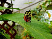 Mindo Butterfly Poses Print by Al Bourassa