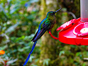 Blue Claws Prints - Mindo Hummers Are So Pretty Print by Al Bourassa