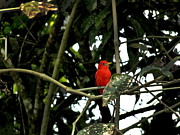 Flycatcher Prints - Mindo Vermilion Flycatcher Print by Al Bourassa