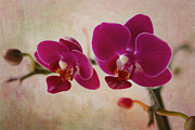 A New Focus Photography - Mini Moth Orchid