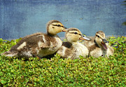 Baby Ducks Posters - Mini Quackers 2 Poster by Fraida Gutovich